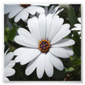 White Daisy's in Bloom Photo Print