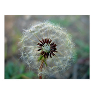 White Dandelion flower with seeds Print