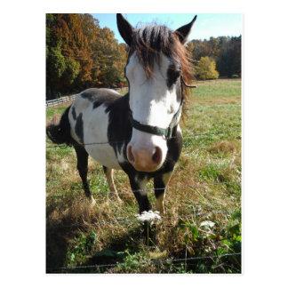 &White de Brown, caballo pintado, flor del cordón  Tarjeta Postal