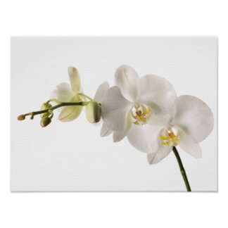 White Dendrobium Orchid Flower Spray Floral Blank Poster
