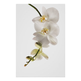 White Dendrobium Orchid Flower Spray Floral Poster