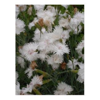 White Dianthus Postcard
