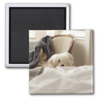 White dog hiding behind bed (differential focus) 2 inch square magnet