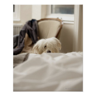 White dog hiding behind bed (differential focus) posters