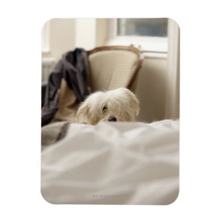White dog hiding behind bed (differential focus) rectangular photo magnet