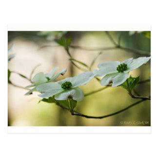White Dogwood Blossoms - Cornus florida Postcard