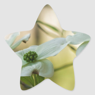 White Dogwood Blossoms - Cornus florida Star Sticker