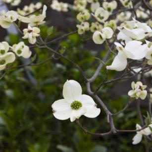 White Dogwood Flower Tote Bags Zazzle