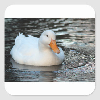 White Duck swimming in a creek Square Sticker