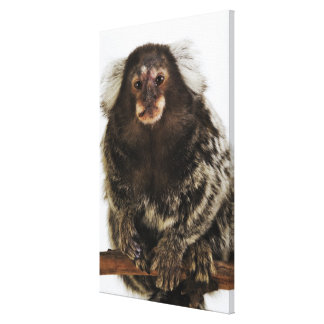 White eared Marmoset on branch, close up, studio Canvas Print