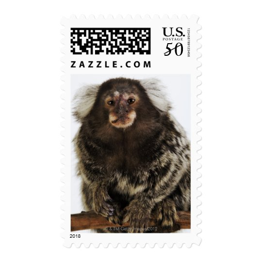 White eared Marmoset on branch, close up, studio Postage