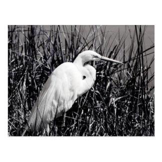 White Egret in reeds bw Postcard