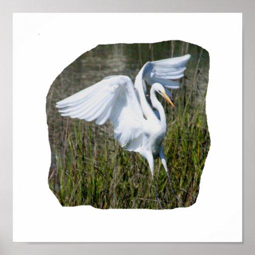 White Egret landing in marsh Poster