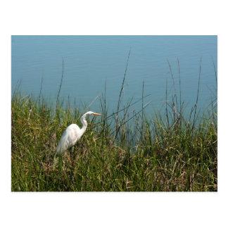 White egret standing in grass w water postcard