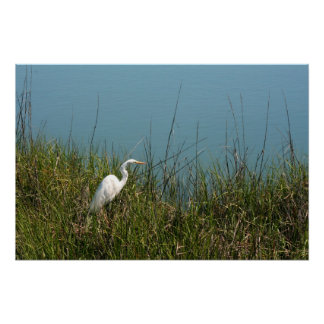 White egret standing in grass w water poster