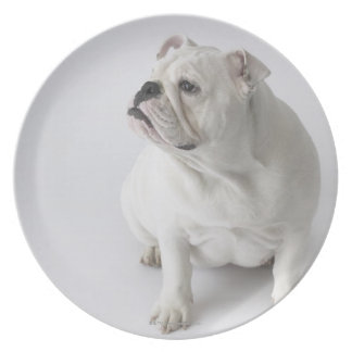 White English Bulldog Dinner Plate