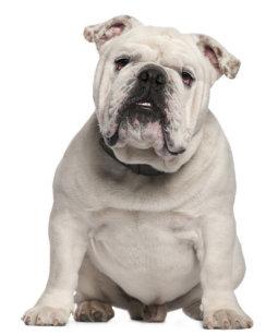 White English Bulldog Gifts on Zazzle