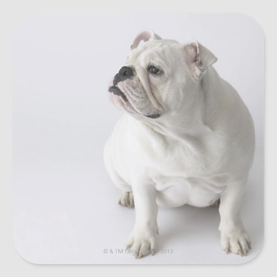 White English Bulldog Square Sticker