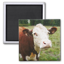 White Faced Beef Cow Magnet