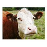 White Faced Beef Cow Postcard