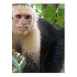 White Faced Capuccin Monkey Postcard