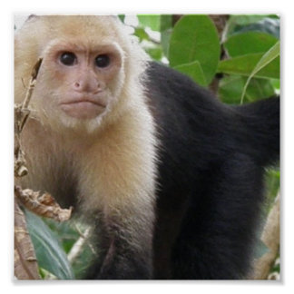 White Faced Capuccin Monkey Poster Print