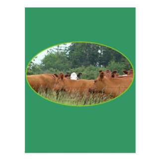 White Faced Cow with Red Cows Post Card