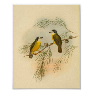 White Faced Flycatcher Yellow Bird Vintage Print