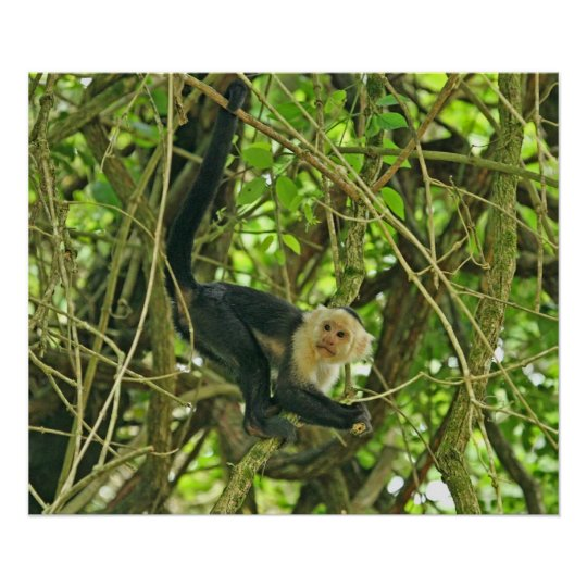 White Faced Monkey in Jungle Poster