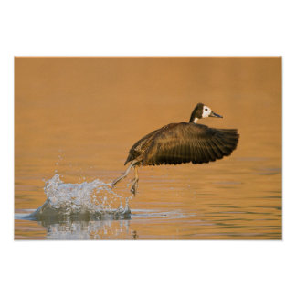 White-Faced Whistling Duck (Dendrocygna Viduata) Poster