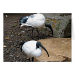 White Feathers Greeting Cards
