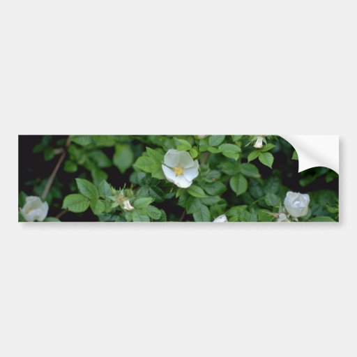 white Field rose flowers Bumper Stickers