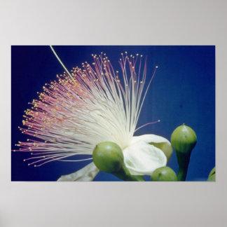 white Fish poison tree (Barringtonia asiatica) flo Posters