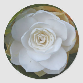 White flower of Camellia in spring Classic Round Sticker