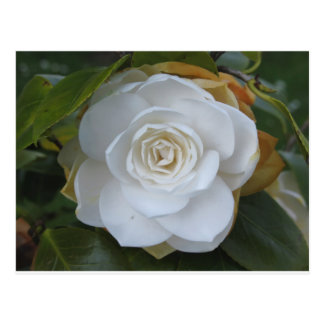 White flower of Camellia in spring Postcard