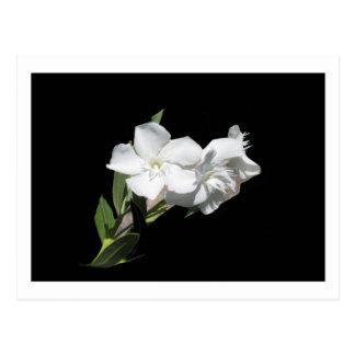 White Flower - Oleander - on Black Postcard