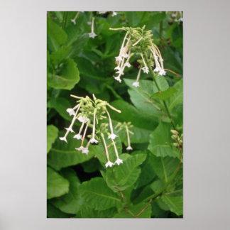 white Flowering Tobacco (Nicotiana Sylvestris) flo Posters