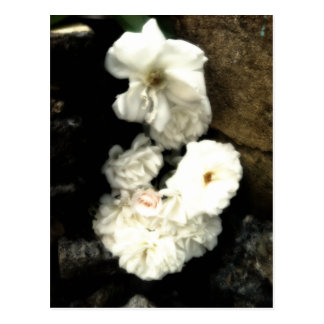 White Flowers In Dominica Postcard