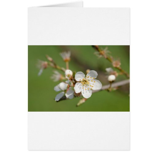 White Flowers of Plum Tree On Cards