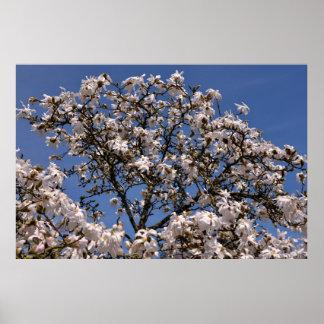 White flowers of star magnolia print
