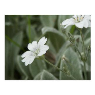 White flowers postcard, Auckland Domain Postcard