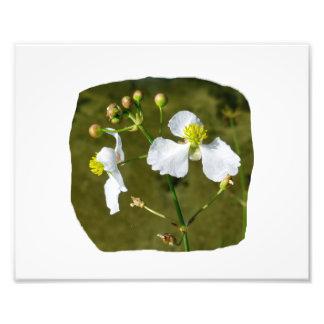 White flowers yellow center round buds photographic print