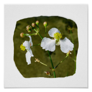 White flowers yellow center round buds posters