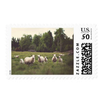 White Fluffy Sheep & Lambs Lush Pasture Photo Postage