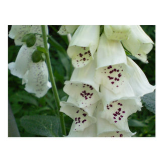 White Foxglove Flowers  Postcards