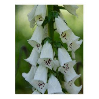 White Foxglove Postcard
