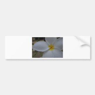 White Frangipani Bumper Sticker
