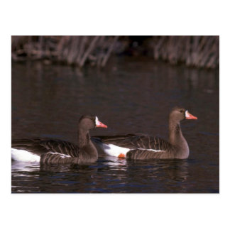 White-fronted Geese Postcard