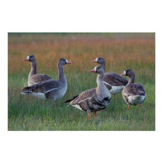 White-fronted Geese Poster