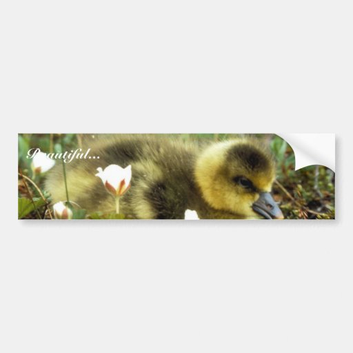 White-fronted Goose Gosling Bumper Stickers